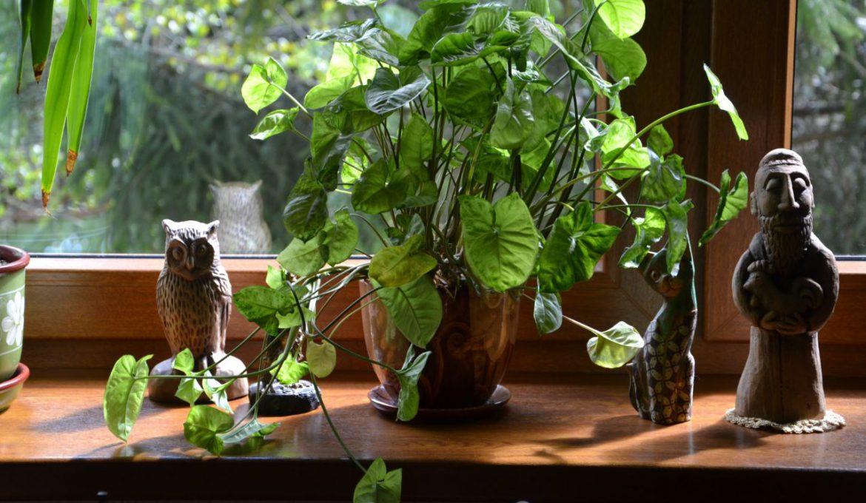 Welke kamerplant kan tegen weinig zonlicht? jpg