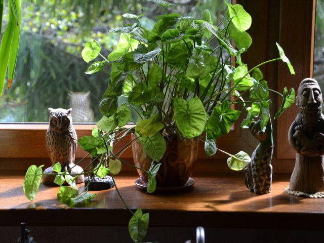 Welke kamerplant kan tegen weinig zonlicht?